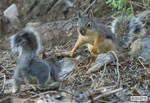 Squirrel courtship