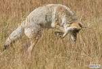 Coyote pounce