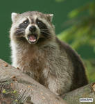 What does the raccoon say?