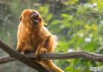 Little monkey, big noise