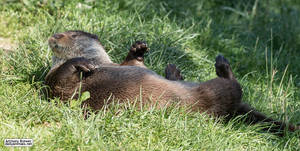 Where the grass is green and the otters are pretty by jaffa-tamarin