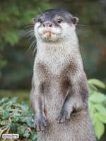 Otter paw-trait by jaffa-tamarin