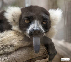 Lemur sticking his tongue out by jaffa-tamarin