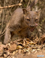 Fierce is the fossa by jaffa-tamarin