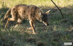 Coyote prowls
