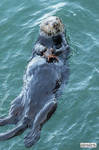 Sea otter and crab