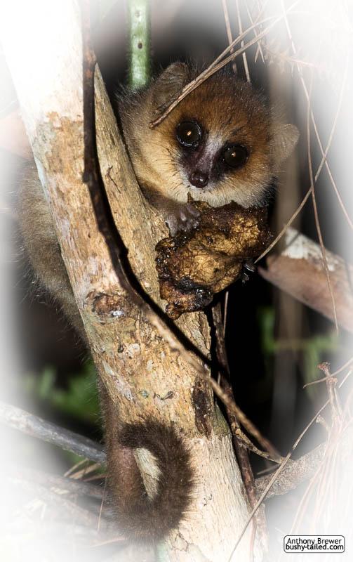 Happy World Lemur Day! by jaffa-tamarin