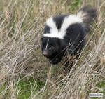 Living the skunk life