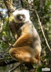Stylishly lemur
