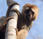Valentine's Day lemur