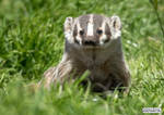 Moment of badger
