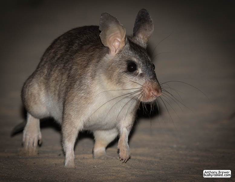 Giant rat of Madagascar by jaffa-tamarin