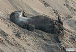 Otter rolls in the sand
