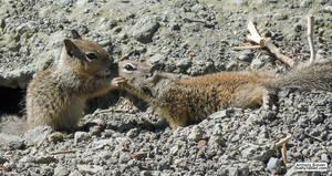 Squirrel nuzzles