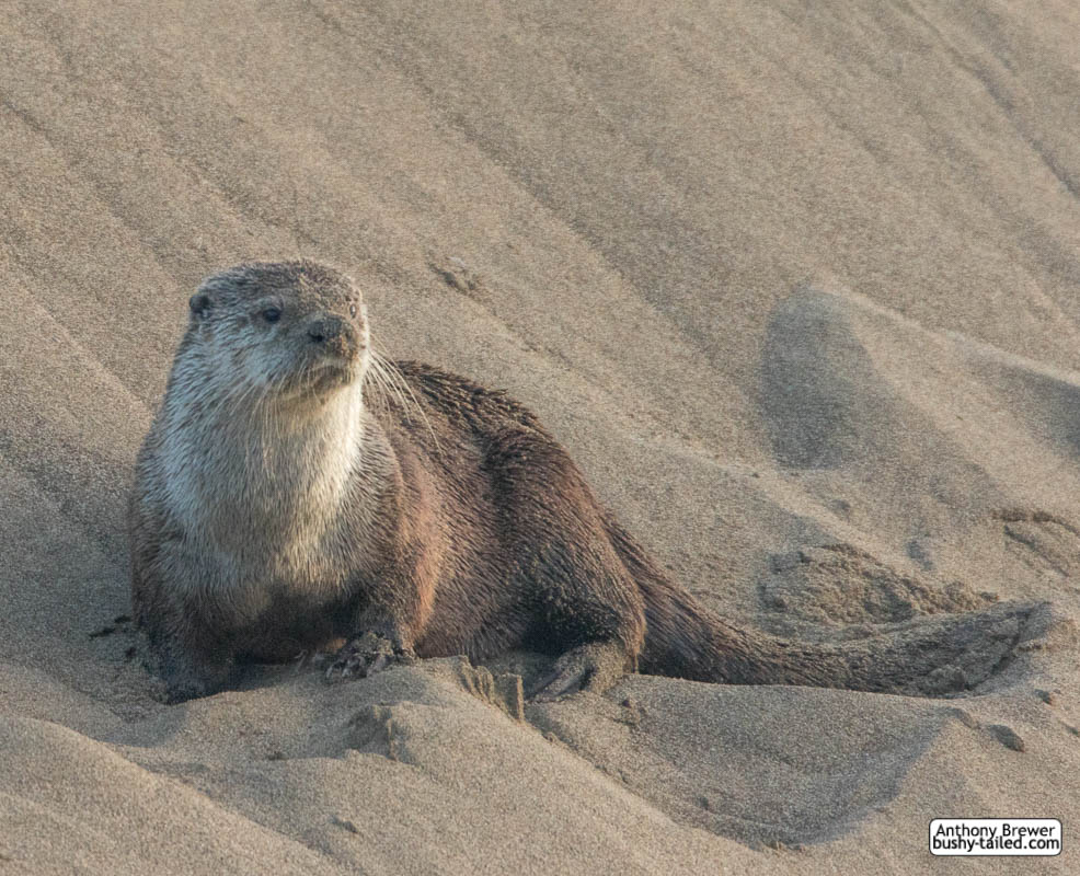 Sandbank with otter by jaffa-tamarin