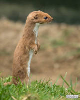 Least weasel by jaffa-tamarin