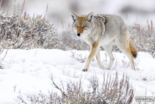 Coyote walks in snow