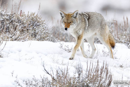 Coyote walks in snow