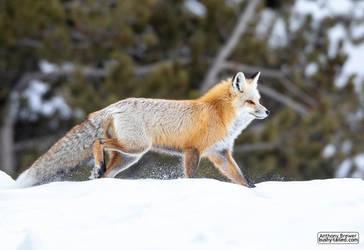 Yellowstone fox by jaffa-tamarin