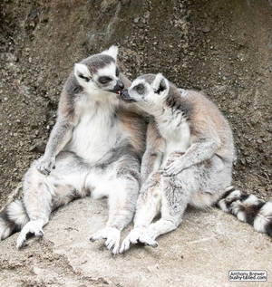 Lemur nose-licks