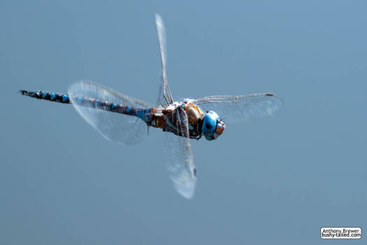 Dragonfly does a hover