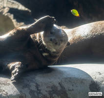 Giant otter, doing a levitation