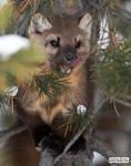 Marten in a tree