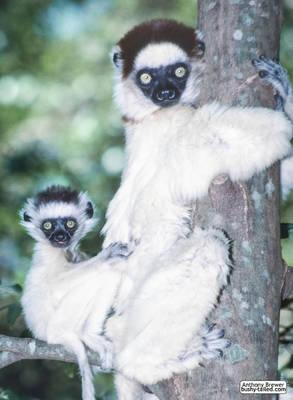 Tree-hugging lemur