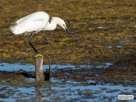 Snowy egret posing on his fishing post