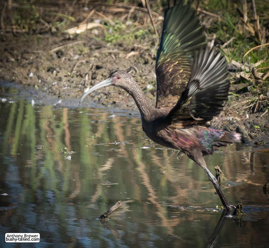 Ibis takes flight