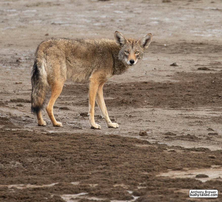 Coyote at Coyote Hills