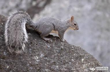Squirrel on rock