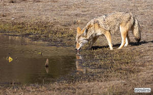 Mr Coyote takes a drink
