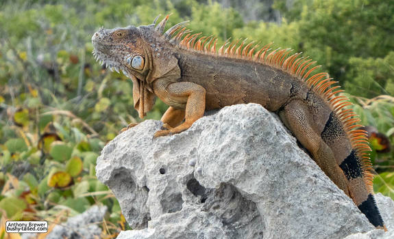 I am the iguana