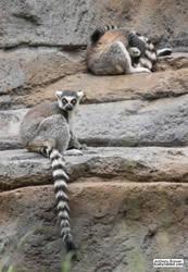 Lemur rocks