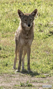 Mr Coyote's guide to standing