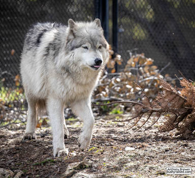 Just a wolf doing a blep