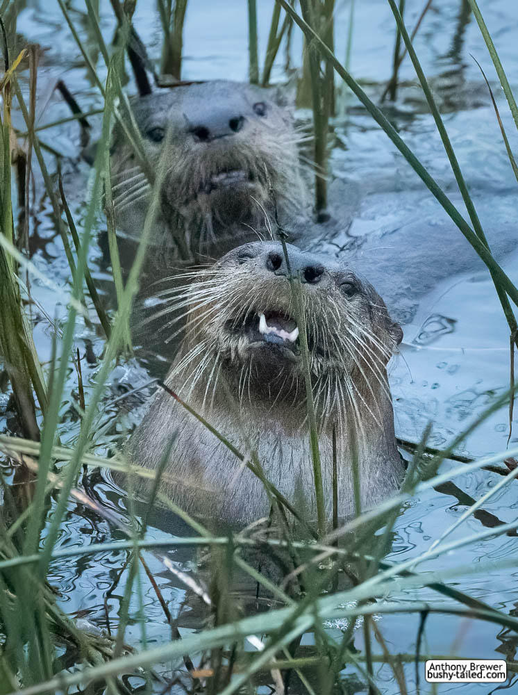 Come join the otter party! Bring your own fish!
