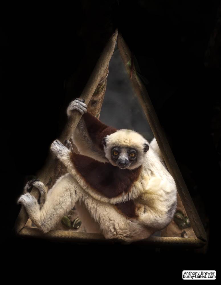 Portal to the lemur dimension