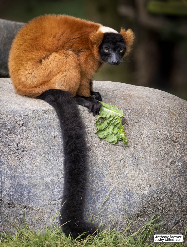 The lettuce thief of lemur forest