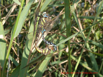 Migrant Hawkers (mating pair) by AdrianDunk