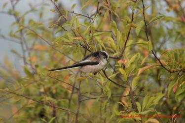 Long-tailed Tit by AdrianDunk