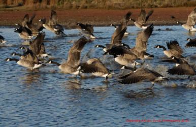 Canada Geese by AdrianDunk