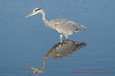Grey Heron by AdrianDunk