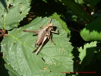 Dark Bush-cricket by AdrianDunk