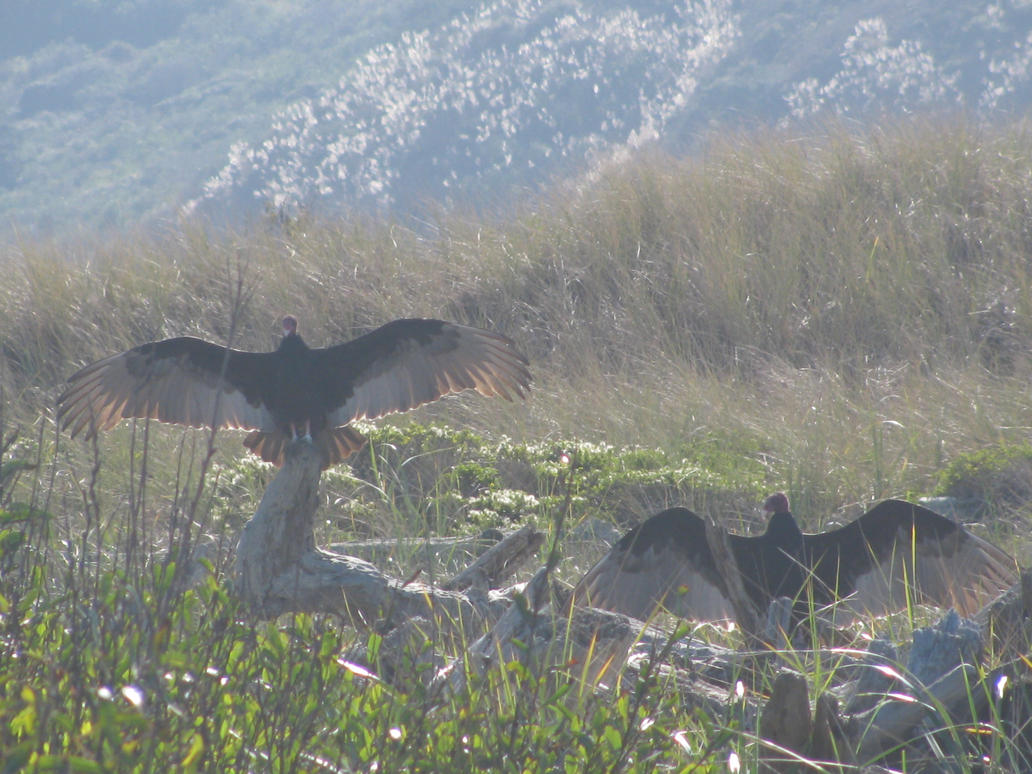 Turkey Vultures by Tinkerbell0522