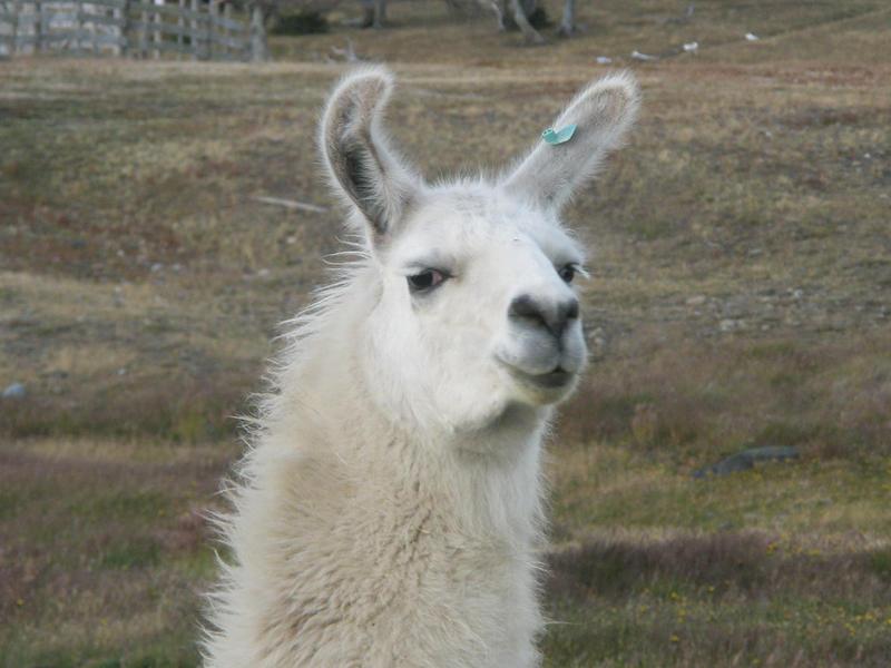 Troll llama by ichadoggi