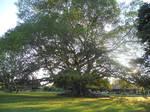 The Giant Tree by RKsaikia