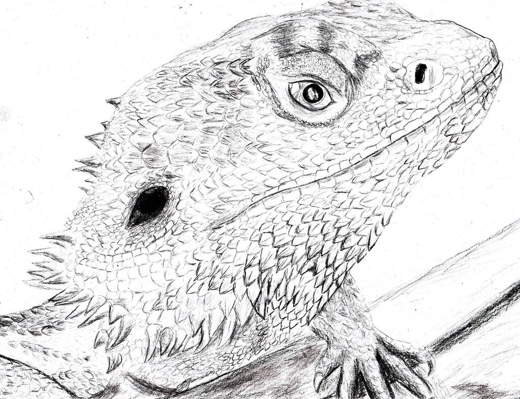 Bearded Dragon Pogona Vitticeps By Spynder4
