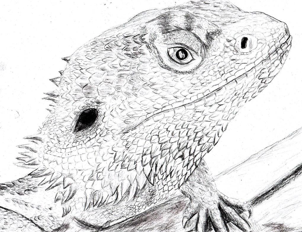 Bearded Dragon Pogona Vitticeps By Spynder4